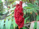 Staghorn Sumac identification and herbal uses